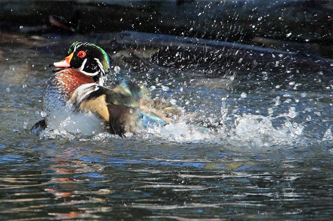 Swimming male Wood Duck