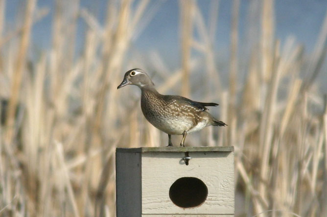 Female Wood Duck perched on a nesting box