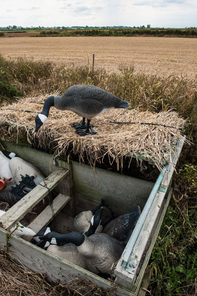 A Canada Goose decoy on the top of a hunting blind  and several others inside