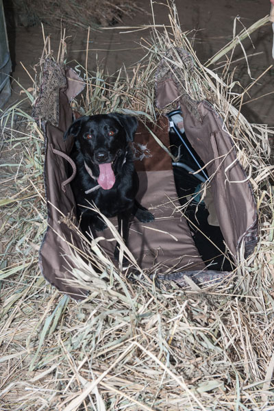 Black Labrador Retriever lying in a blind.
