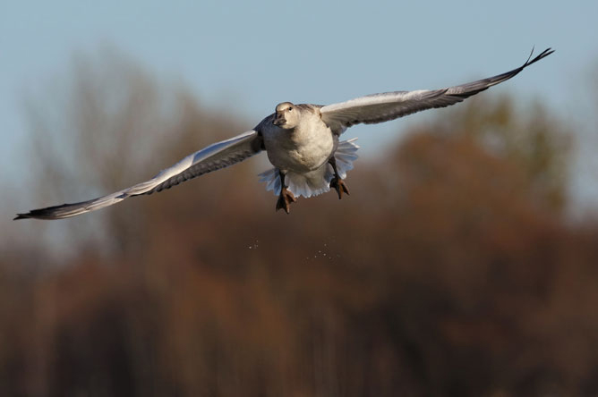 Close-up of a Greater Snow Goose in flight