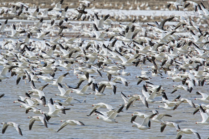 An impressive number of Greater Snow Geese flying over the waters of Baie-du-Febvre.