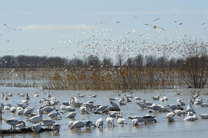 Hundreds of Snow Geese rest on the floodplain of Baie-du-Febvre in spring.